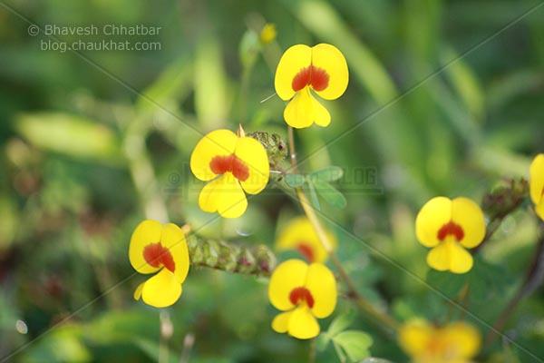 5 Bristly Smithia [AKA Smithia Setulosa, Motha Kawla, मोठा कवला]